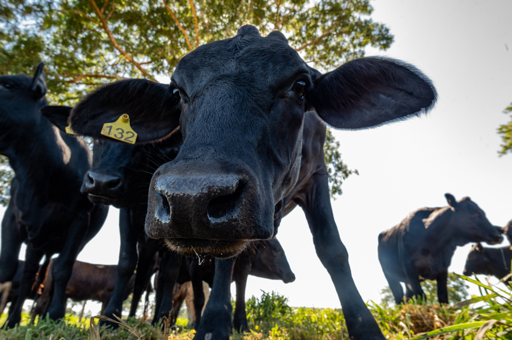 Boi ajudaria a controlar incêndios ao reduzir o tamanho da pastagem que pode secar e virar combustível para incêndios no Pantanal. (Fonte: Shutterstock)