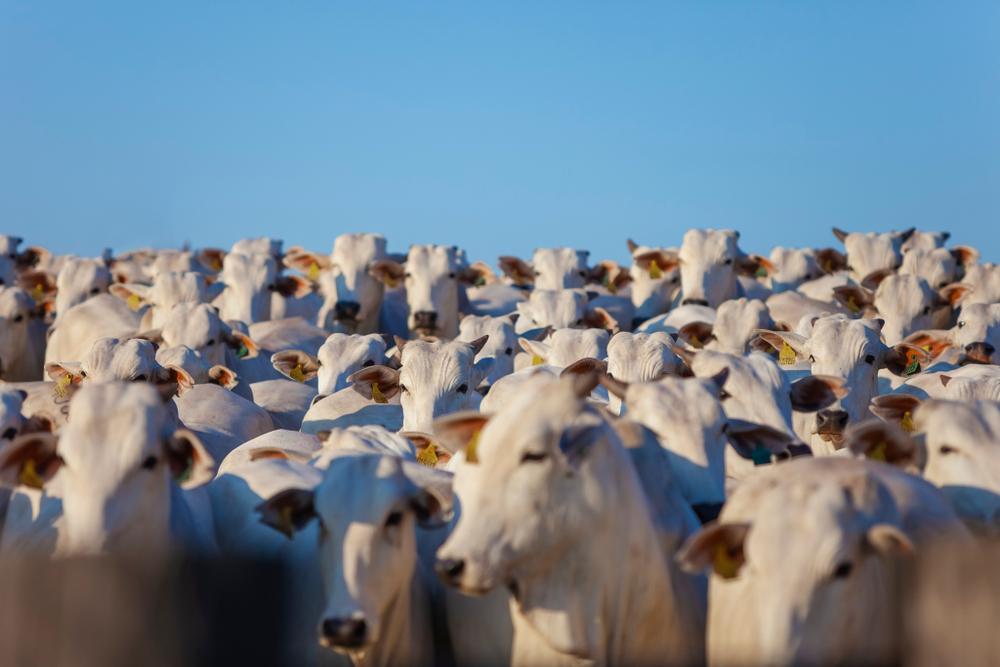 Carne bovina deve reverter queda de 2020 e vai puxar crescimento da pecuária no próximo ano. (Fonte: Shutterstock)