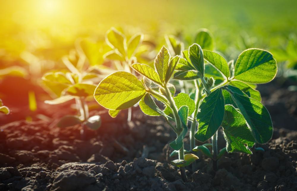 Produção sustentável de soja tem mercado garantido. (Fonte: Shutterstock)